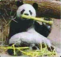 earwig panda