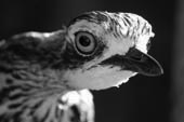 crypt curlew grey